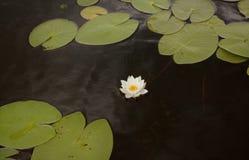 Lírio de água na água Imagem de Stock