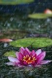 Lírio de água na chuva imagens de stock