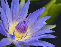 Lírio de água na flor completa imagens de stock