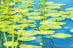 Lírio de água na lagoa Fotografia de Stock