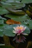 Lírio de água na lagoa com reflexão 3 Imagens de Stock
