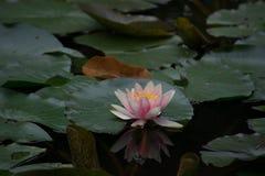 Lírio de água na lagoa com reflexão 4 Fotos de Stock