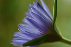 Lírio de água na opinião do perfil da flor completa foto de stock