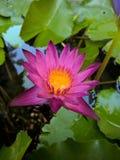 Lírio de água natural fotografia de stock royalty free
