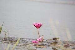 Lírio de água no lago Foto de Stock Royalty Free
