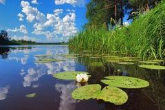 Lírio de água no rio Fotografia de Stock Royalty Free