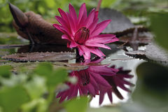 Lírio de água raro com refletido Foto de Stock Royalty Free