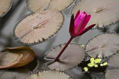 Lírio de água roxo Fotografia de Stock
