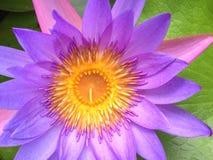 Lírio de água roxo - close-up Imagens de Stock Royalty Free