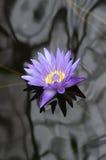 Lírio de água roxo na água escura Fotografia de Stock Royalty Free