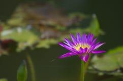 Lírio de água roxo que floresce na água com folha Fotografia de Stock
