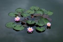 Lírio de água três cor-de-rosa Imagens de Stock Royalty Free
