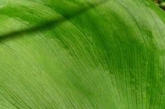 Lírio de água verde da textura da folha do verão Fotografia de Stock