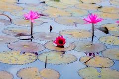 Lírio de água vermelha ou lótus vermelhos Fotografia de Stock