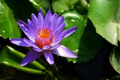 Lírio de água: violeta Foto de Stock Royalty Free