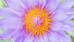 Lírio de água violeta Fotografia de Stock