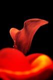 Lírio de Calla Foto de Stock