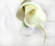 Lírio de Calla Fotografia de Stock Royalty Free