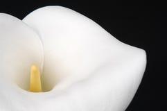 Lírio de Calla Foto de Stock Royalty Free