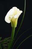 Lírio de Calla Fotos de Stock Royalty Free