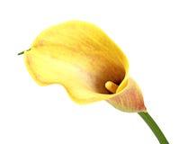 Lírio de calla amarelo Imagem de Stock