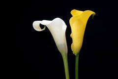 Lírio de calla amarelo imagens de stock