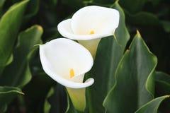 Lírio de Calla, lírio de Arum, Calla do ouro Foto de Stock Royalty Free