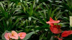 Lírio de Calla venenoso delicado selvagem com o estame amarelo que floresce no jardim como o fundo floral natural vídeos de arquivo