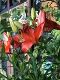 Lírio de dia na flor Imagem de Stock Royalty Free