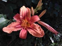 Lírio de florescência Foto de Stock