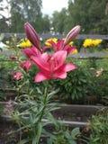 Lírio de florescência da flor do verão imagens de stock royalty free