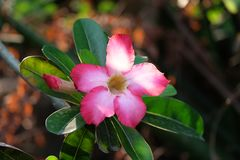 Lírio de impala cor-de-rosa Fotografia de Stock