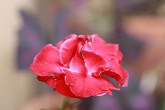 Lírio de impala vermelho é um gênero de plantas de florescência na família do Apocynum fotos de stock royalty free