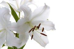 Lírio de madonna branco grande Fotografia de Stock