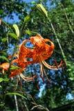 Lírio de tigre alaranjado brilhante no fundo do céu e das árvores Foto de Stock Royalty Free