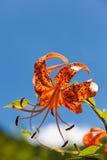Lírio de tigre e um céu azul Imagens de Stock Royalty Free