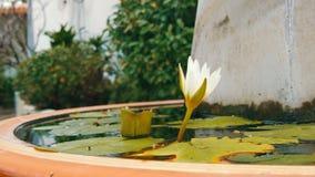 Lírio decorativo do jardim na lagoa artificial Flor decorativa branca bonita em um reservatório artificial pequeno filme
