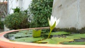 Lírio decorativo do jardim na lagoa artificial Flor decorativa branca bonita em um reservatório artificial pequeno video estoque