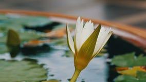 Lírio decorativo do jardim na lagoa artificial Flor decorativa branca bonita em um reservatório artificial pequeno vídeos de arquivo