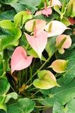 Lírio do flamingo Imagem de Stock Royalty Free