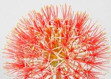 Lírio do sopro de pó ou flor de sangue isolada no fundo branco Imagem de Stock Royalty Free