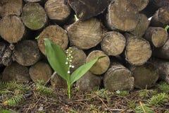 Lírio do vale perto do woodpile Fotos de Stock