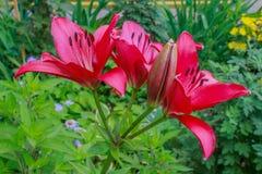 Lírio do vermelho da flor Fotografia de Stock Royalty Free