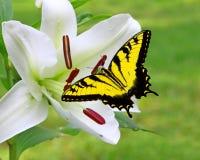 Lírio do White Christmas com uma borboleta de Swallowtail fotos de stock royalty free