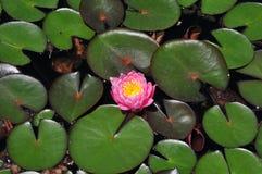 Lírio e almofadas cor-de-rosa bonitos de água Fotografia de Stock Royalty Free