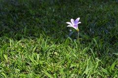 Lírio feericamente cor-de-rosa na grama verde Imagem de Stock