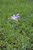 Lírio feericamente cor-de-rosa na grama verde Fotografia de Stock