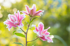 Lírio Flores brilhantes do verão no jardim luxúria Cartão da mola para Fotografia de Stock Royalty Free