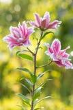 Lírio Flores brilhantes do verão no jardim luxúria Cartão da mola para Fotos de Stock Royalty Free