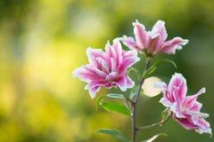 Lírio Flores brilhantes do verão no jardim luxúria Cartão da mola para Imagens de Stock
